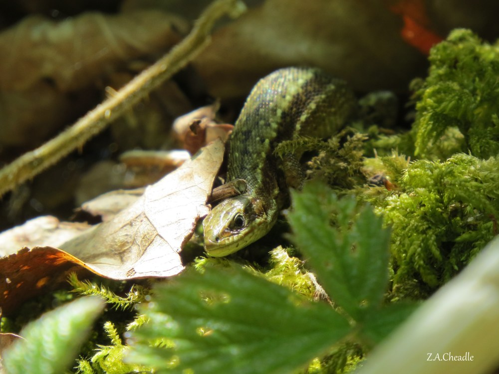 named lizard