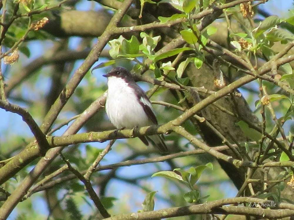 named pied flycatcher