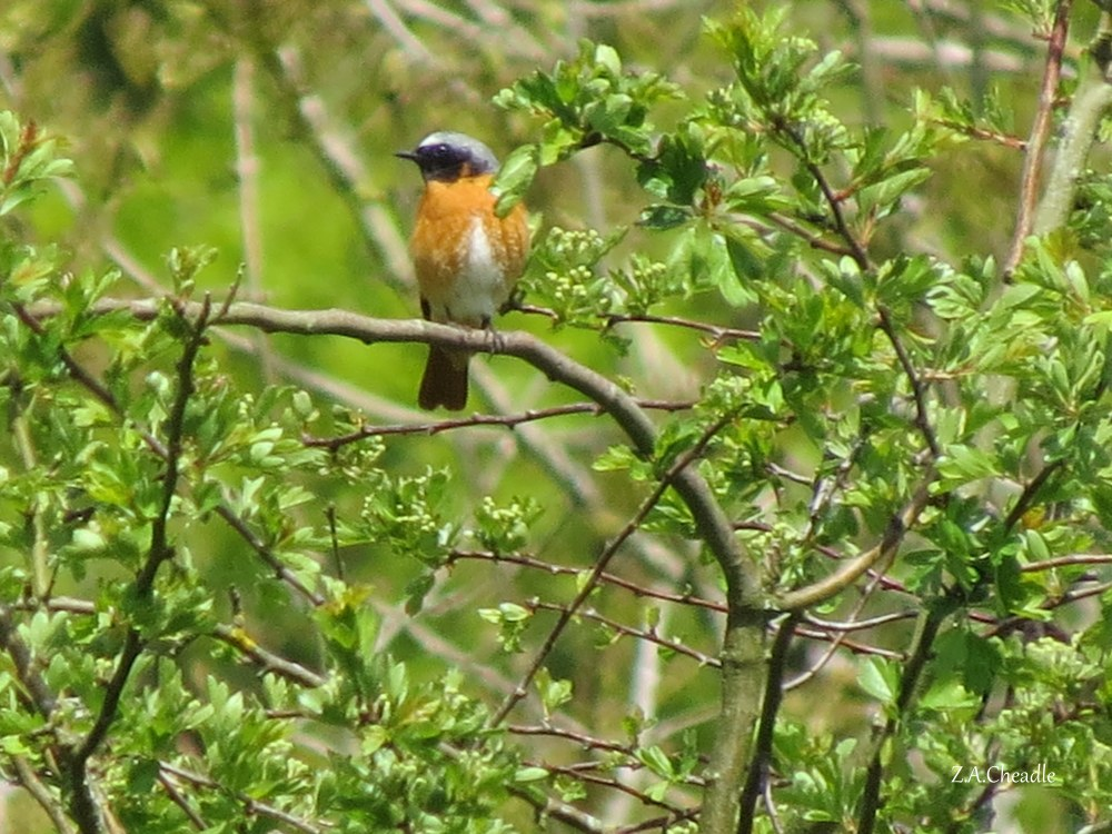 named redstart