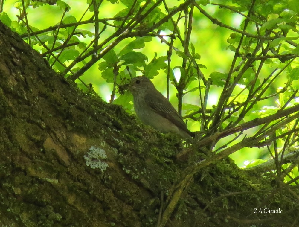 named spotted flycatcher