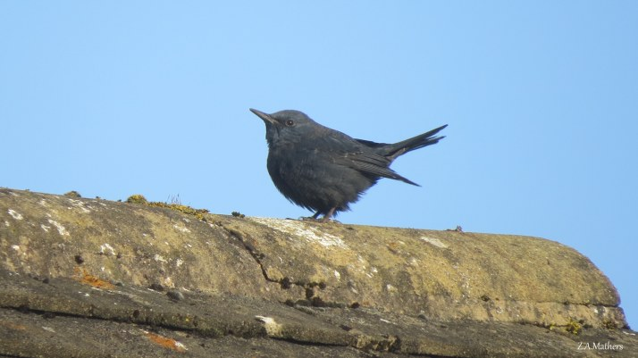 blue-rock-thrush-3