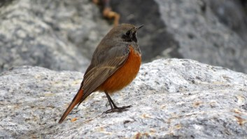 eastern-black-redstart-3