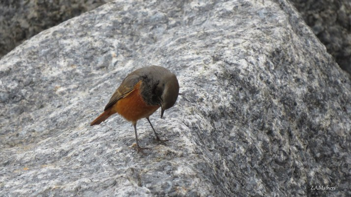 eastern-black-redstart-4