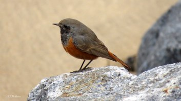 eastern-black-redstart