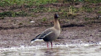 pink-footed-2
