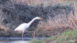 great-white-egret
