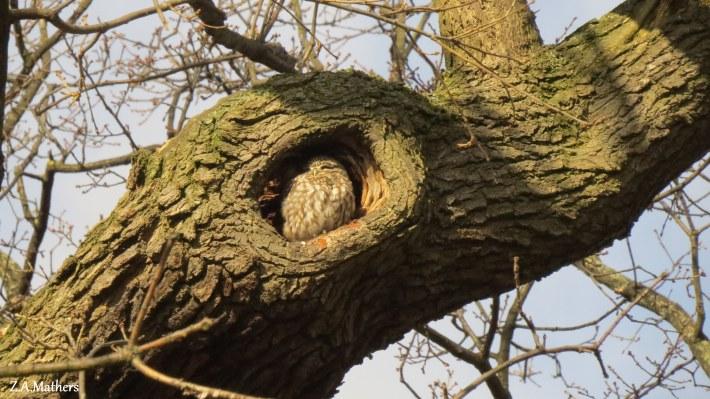 little-owl-2