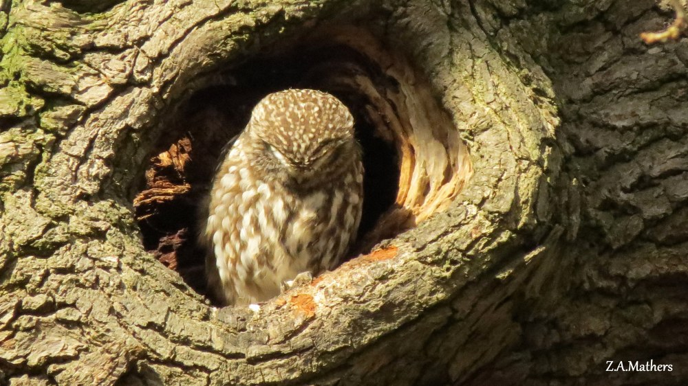 little-owl-5