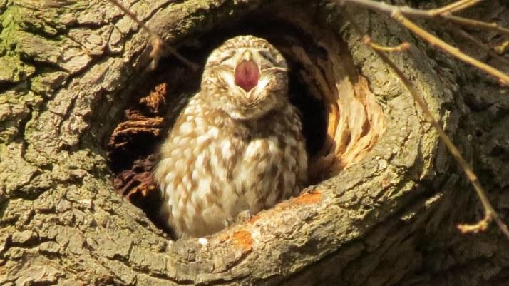 little-owl-6
