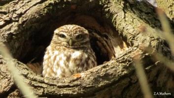 little-owl-7