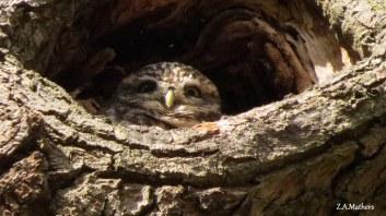 little-owl-8