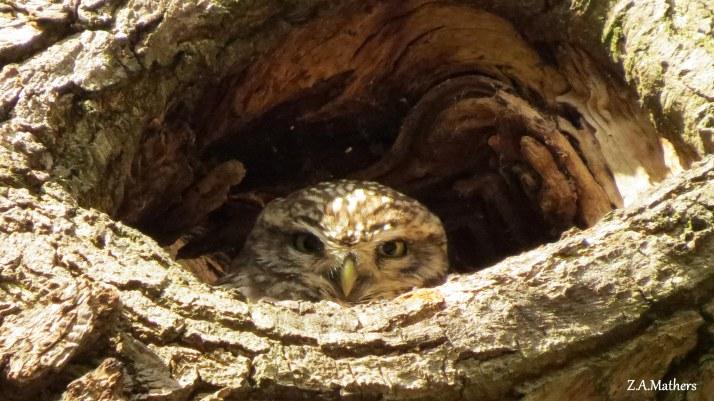 little-owl-9