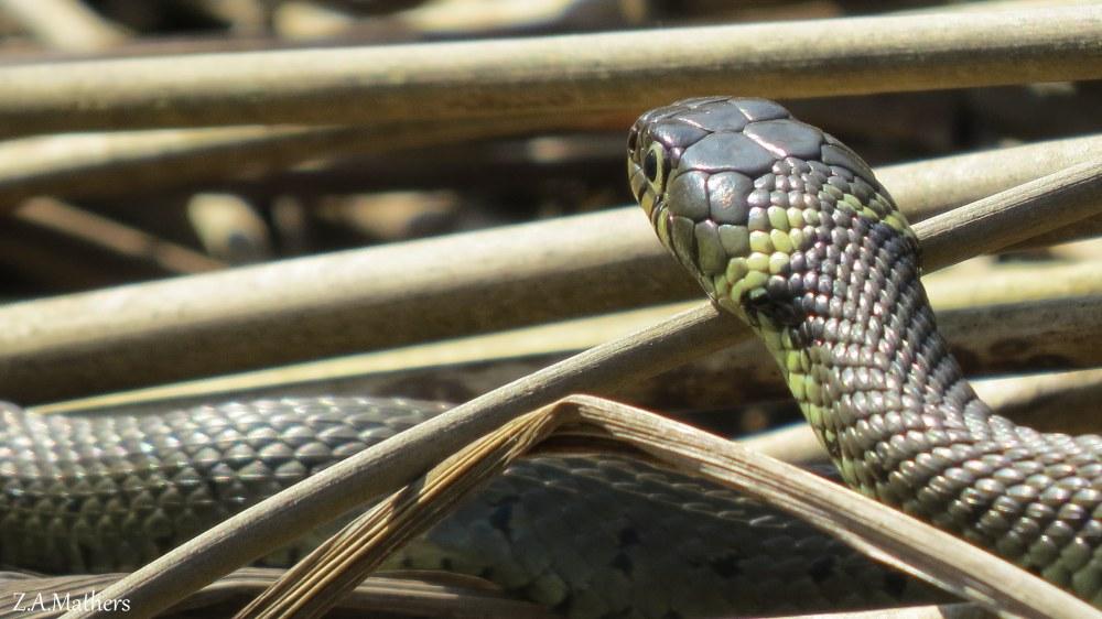 grass snake2
