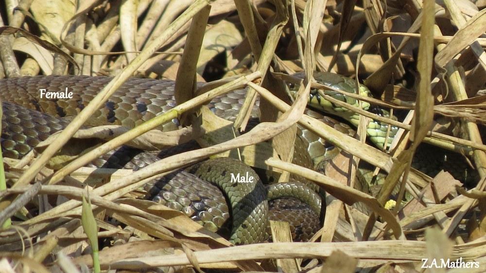 grass snake4