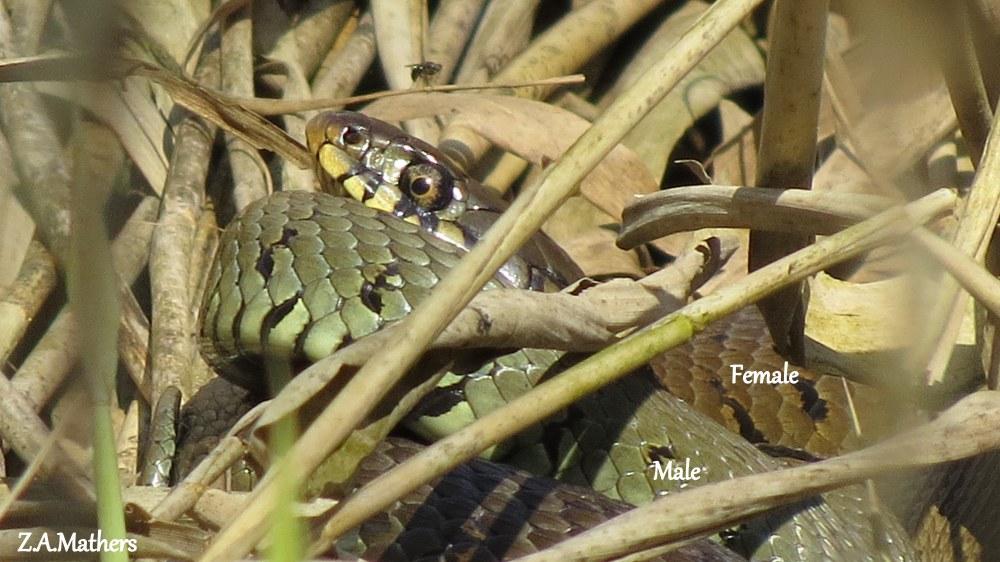 grass snake5