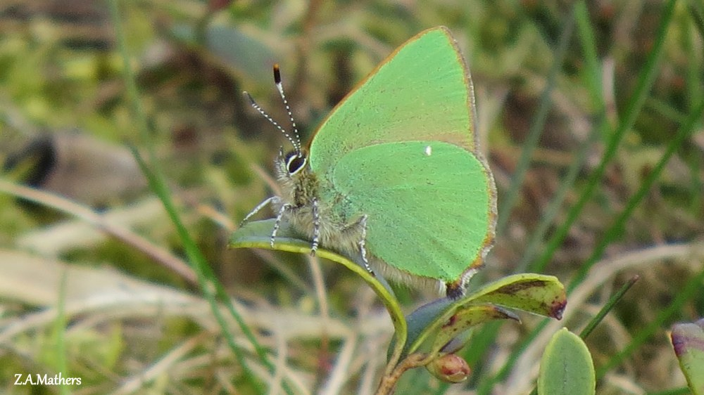 green hairstreak 2