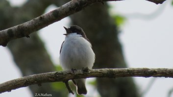 pied fly2