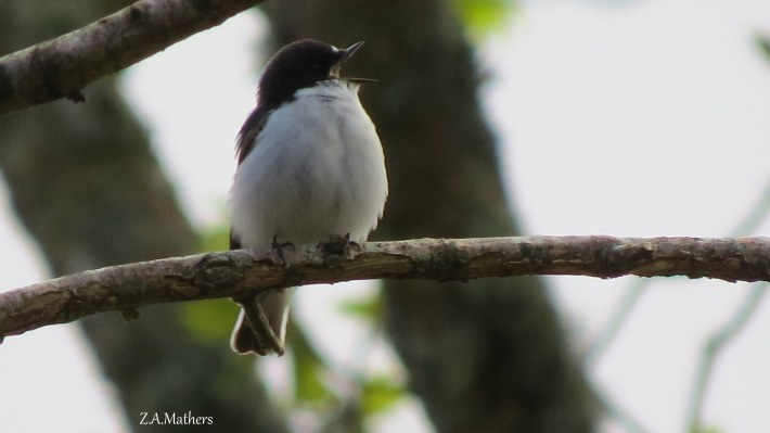 pied fly3