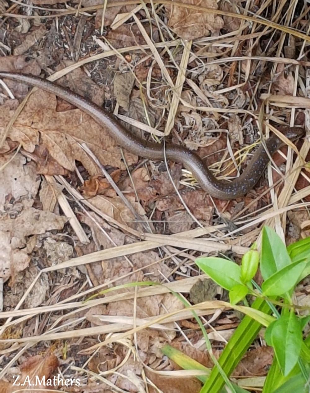 slow worm 2