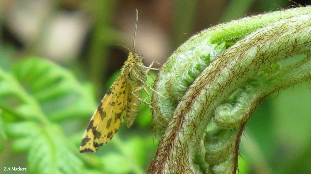 speckled yellow 2