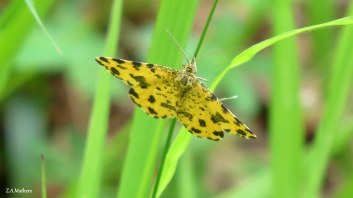 speckled yellow 3