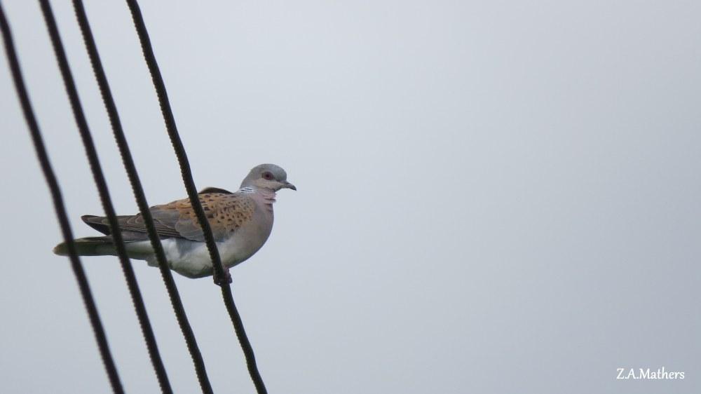 turtle dove2