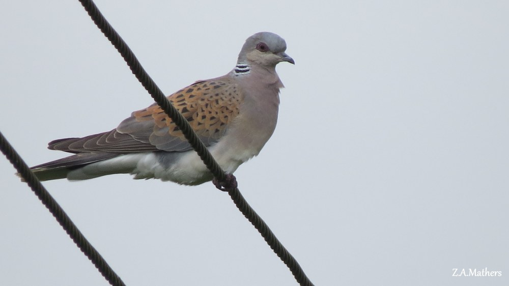 turtle dove3