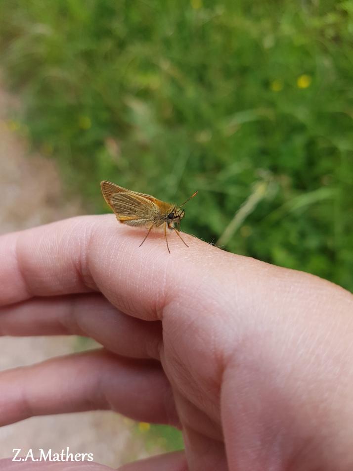 small skipper2