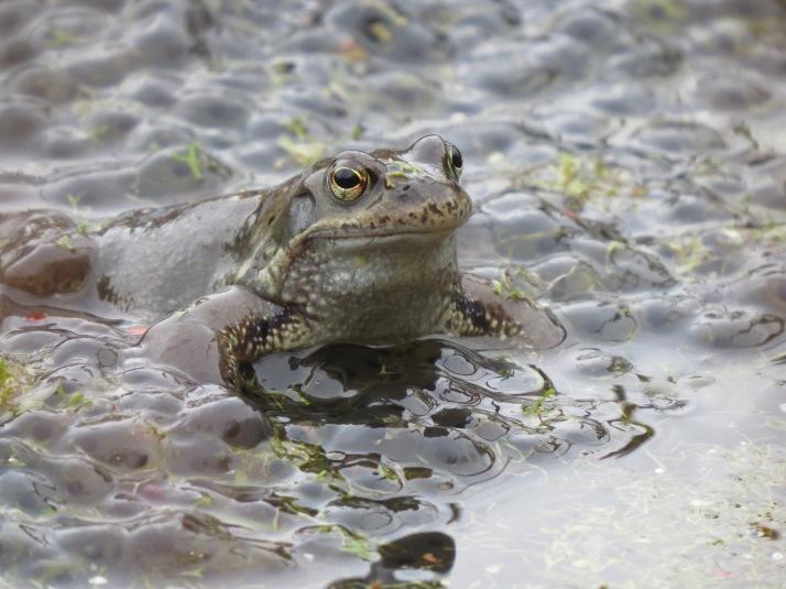 frog 22