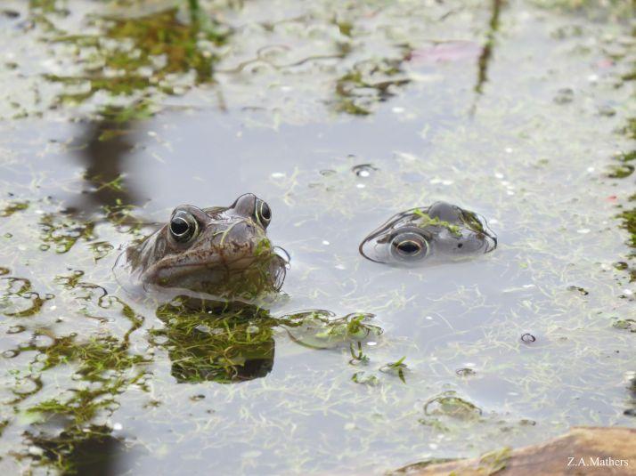 frog aa