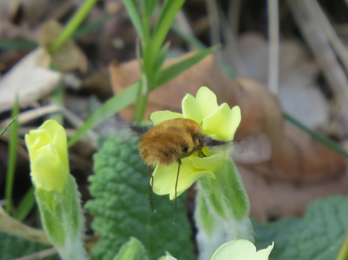 bee fly 4